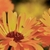 Calendula_reduce.small