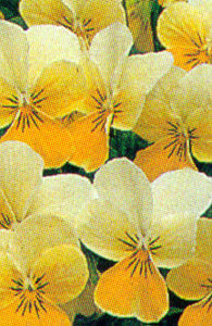 Pansy, Tufted 'Sorbet Lemon Chiffon'