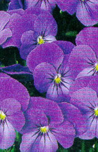 Pansy, Tufted 'Sorbet Blue Heaven'