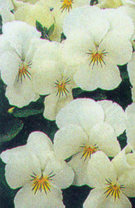 Pansy, Tufted 'Sorbet French Vanilla'