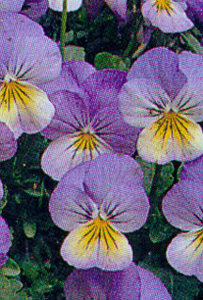 Pansy, Tufted  'Sorbet Blueberry Cream'