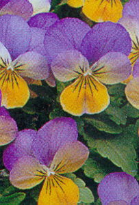 Pansy, Tufted 'Sorbet Yellow Frost'