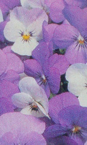 Pansy, Tufted 'Sorbet Yesterday, Today & Tomorrow'