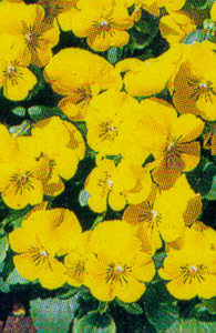 Pansy, Tufted  'Yellow Delight'