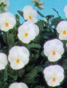 Pansy, Tufted  'Splendid White'