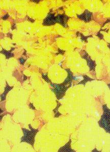 Pansy, Tufted 'Splendid Yellow'