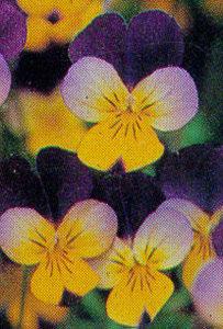 Pansy, Tufted 'Alpine Summer'