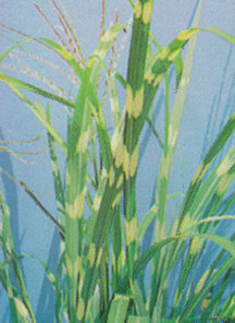 Grass, 'Zebrinus'