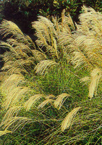 Grass, Maiden, 'Autumn Light'