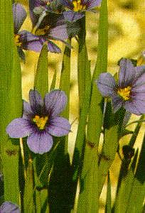 Sisyrinchium, 'Blue Skies'
