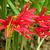Amaryllis_rhodophiala_bifida-1.small