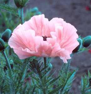 Poppy, Oriental 'Helen Elizabeth'