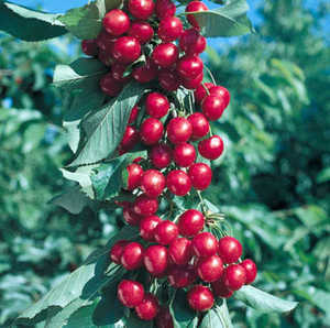 Cherry, Balaton Semi-Dwarf