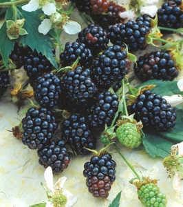 Blackberry, Triple Crown Thornless
