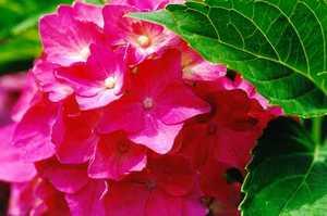 Hydrangea, Big-Leafed  'Pia'