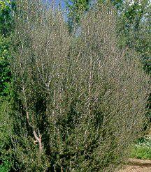 Mahogany, Needle-leaf