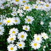 Perennials_chrysanthemum_maximum_silver_princess-1.thumb