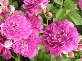 Rose-miniature-angel-wings-perennial.full