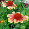 Blanket Flower, 'Goblin'
