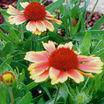 All_plants_gaillardia_grandiflora_goblin-1.thumb
