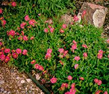 Rock Rose, 'Rose Glory'