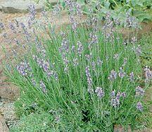 Lavender, Dwarf Blue