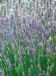 Lavender, 'Provence'