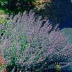 Herbs_nepeta_x_faassenii_six_hills_giant-2.thumb