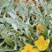 All_plants_oenothera_macrocarpa_var._incana_silver_blade-1.thumb