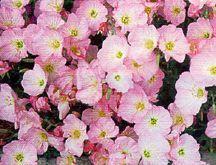 Primrose, Showy Pink Evening