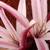 Crinum_lilies_-_milk_and_wine.small