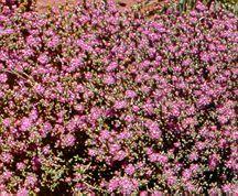 Cacti_and_succulents_ruschia_species-1.full