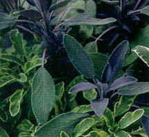 Sage, Purple Leaf