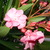 Oleander.small