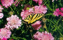 Pincushion Flower, 'Pink Mist'