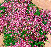 Thyme, Creeping 'Pink Chintz'