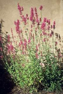 All_plants_agastache_barberi-1.full