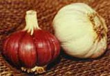 Garlic_and_shallots_allium_sativum_burgundy-1.full