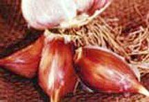 Garlic_and_shallots_allium_sativum_leningrad-1.full