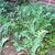 Brassica_oleracea_acephela.small