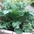 Brassica_oleracea_acephela-1.small