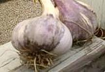 Garlic_and_shallots_allium_sativum_brown_tempest-1.full