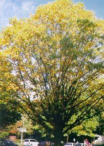 Persimmon Tree, Lincoln