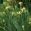 Irises2.thumb