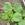 Spinach: Komatsuna