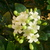 Jasmine_in_bloom_.small