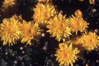 Chrysanthemum, Florist's