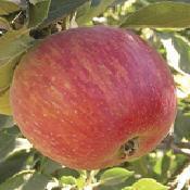 Apple_tree_black_twig.full