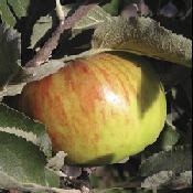 Apple_tree_bramley_s_seedling.full
