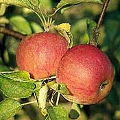Apple_tree_cox_s_orange_pippin.full